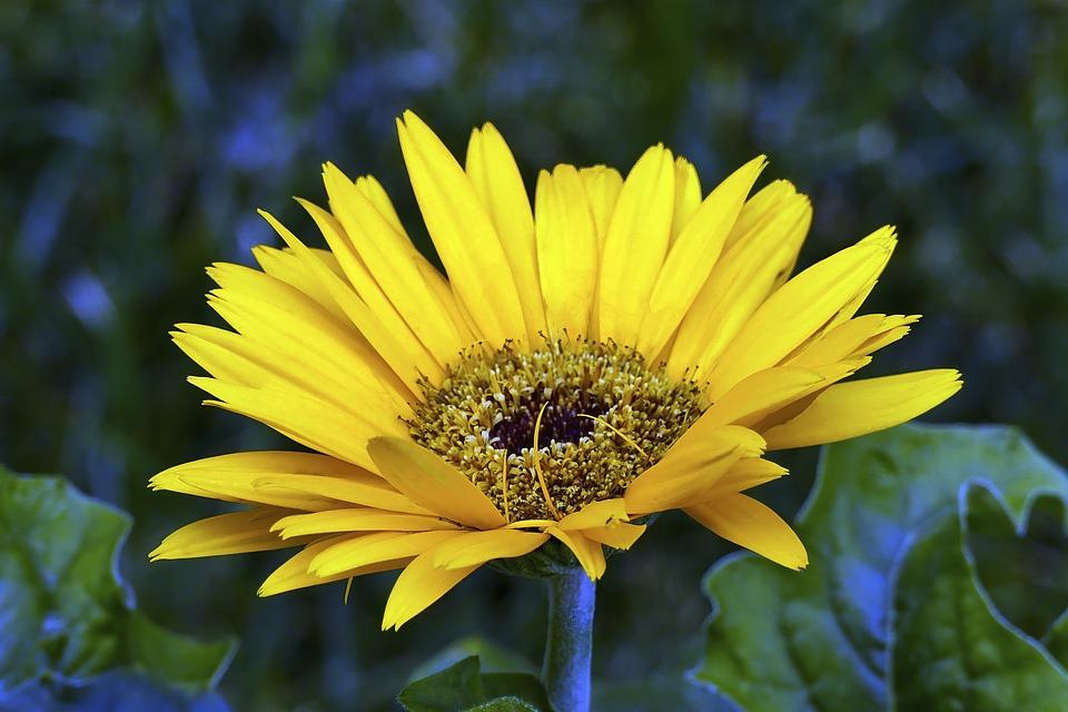 Daisy, Yellow, Garden, Bloom, Summer, Flower, Colorful