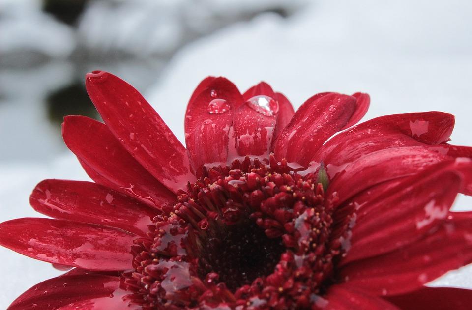 Gerbera, Blossom, Bloom, Flower, Bloom, Drop Of Water