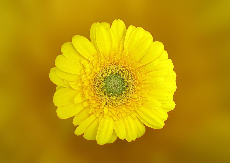 Gerbera, Flower, Blossom, Bloom, Yellow, Composites