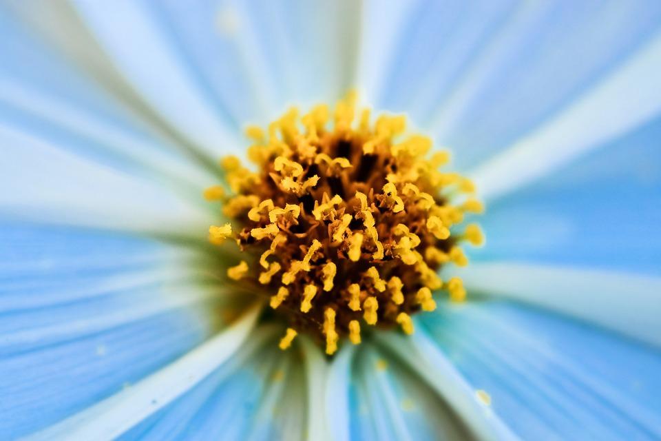 Gerbera, Pistil, Flower, Blossom, Bloom, Close Up