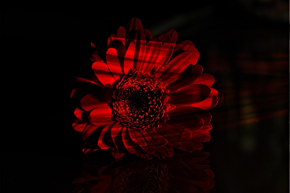 Flower, Red, Gerbera, Blossom, Bloom, Plant