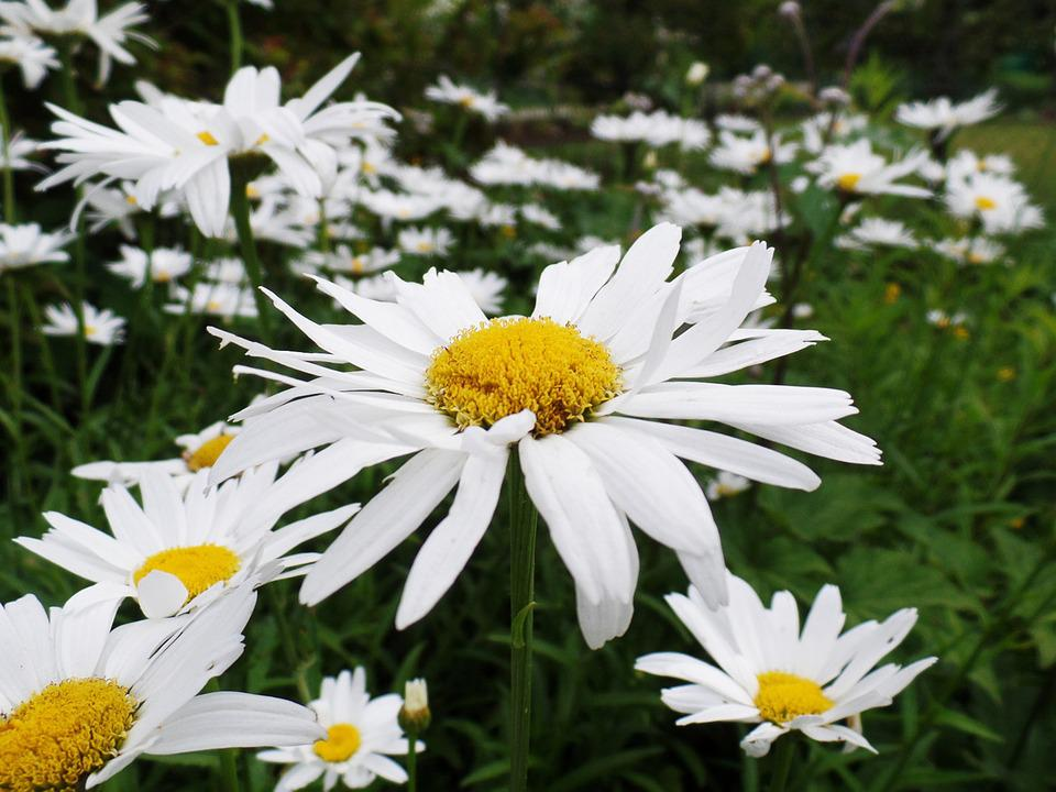Free photo bloom green blossom daisies white meadow flowers max pixel daisies flowers white meadow green blossom bloom mightylinksfo