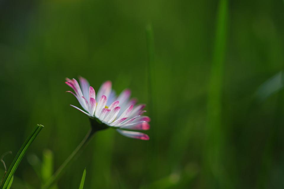 Daisy, Rush, Grass, Green, Blossom, Bloom, Meadow