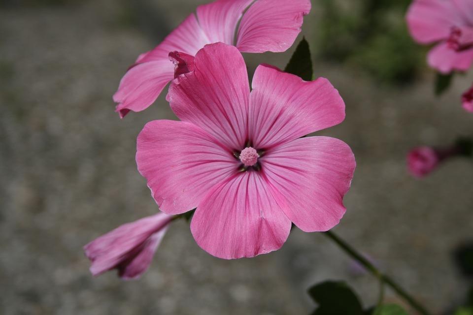 Mallow, Pink, Green, Flower, Garden, Blossom, Bloom
