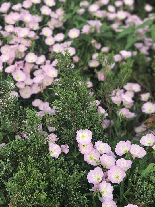 Flowers, Sun, Pink, Bloom, Field, Fresh, Growth, Leaf