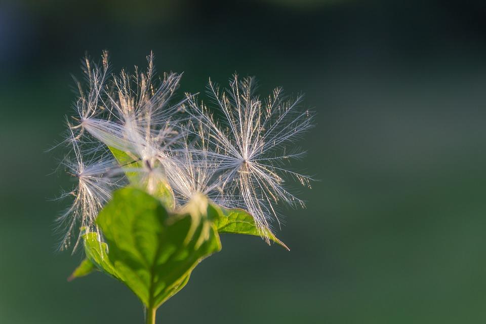 Blossom, Bloom, Fluff, Back Light, Light, Bloom, Hairy