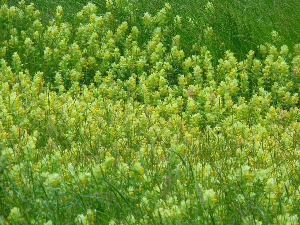 Angustifolius, Flower, Yellow, Bloom, Halbschmarotzer