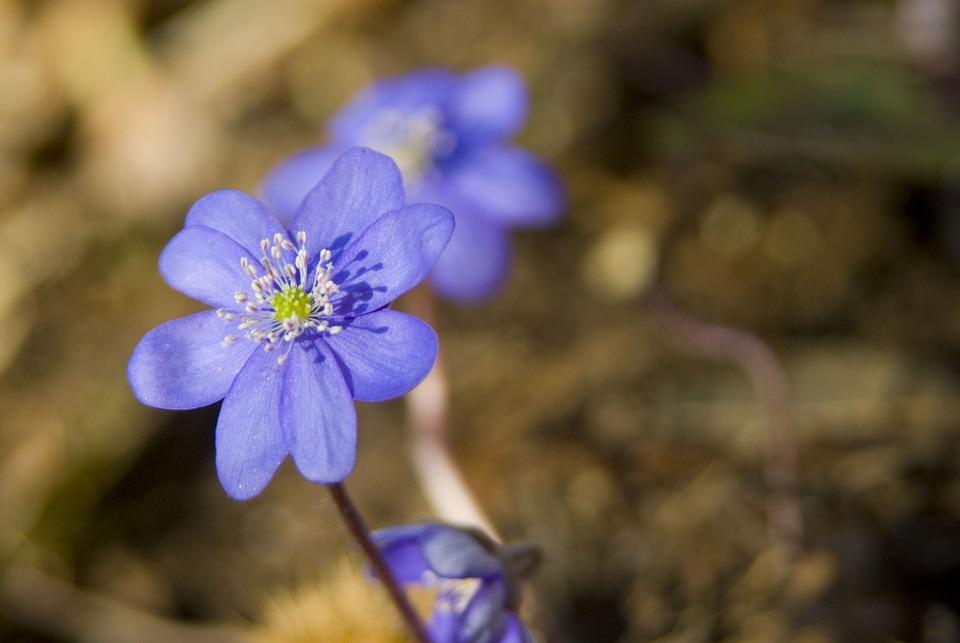 Hepatica, Purple, Flower, Blossom, Bloom, Violet