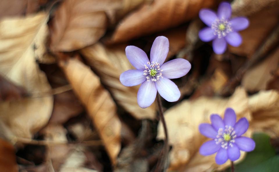 Hepatica, Blossom, Bloom, Flower, Bloom, Spring