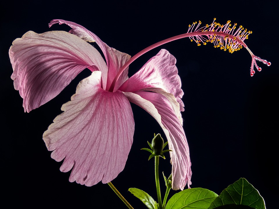 Hibiscus, Blossom, Bloom, Flower, Pink, Marshmallow