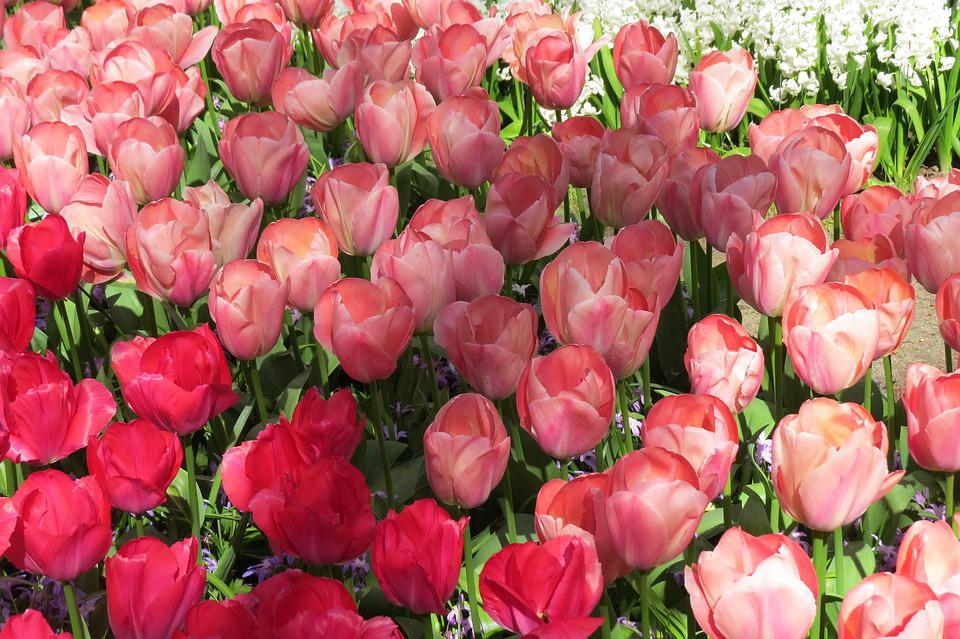 Free photo bloom holland flowers tulip spring tulips max pixel tulip tulips bloom spring flowers holland mightylinksfo Image collections