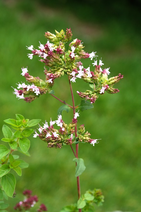 Oregano, Plant, Blossom, Bloom, Inflorescence, Pink