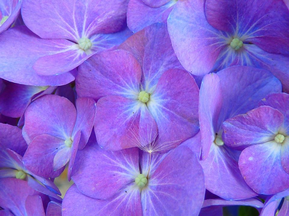 Hydrangea, Blossom, Bloom, Inflorescence, Purple