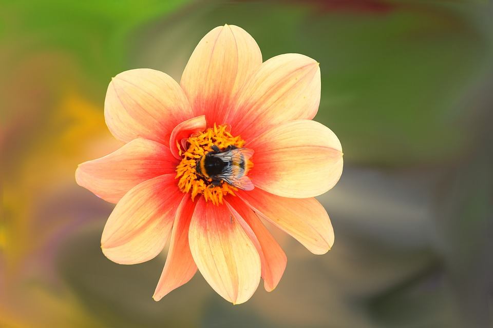 Dahlia, Flower, Blossom, Bloom, Insect, Bee