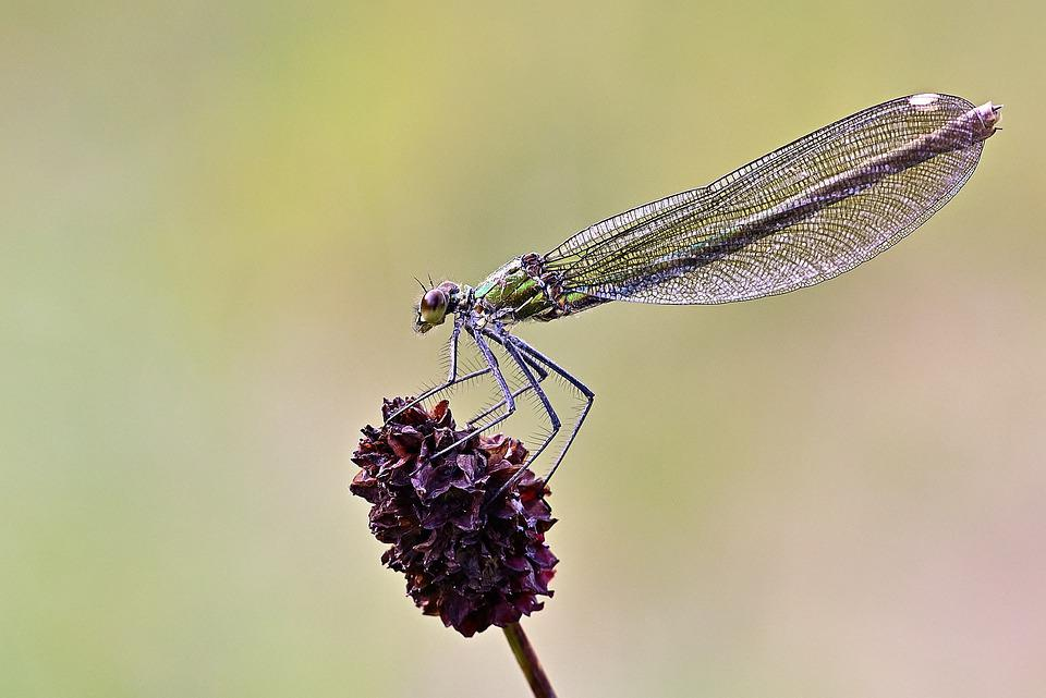Dragonfly, Insect, Entomology, Blossom, Bloom