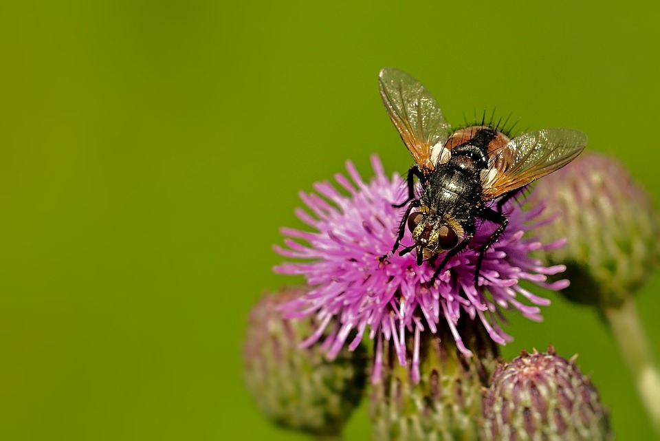 Insect, Blossom, Bloom, Fly, Thistle Flower, Nature