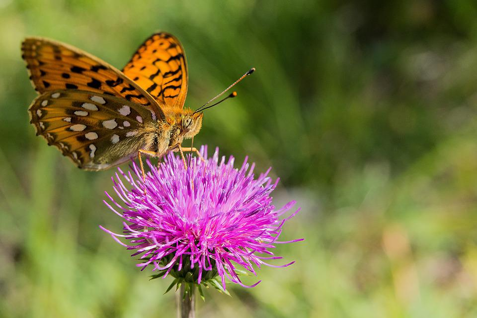 Butterfly, Flower, Blossom, Bloom, Insect, Nature, Pink