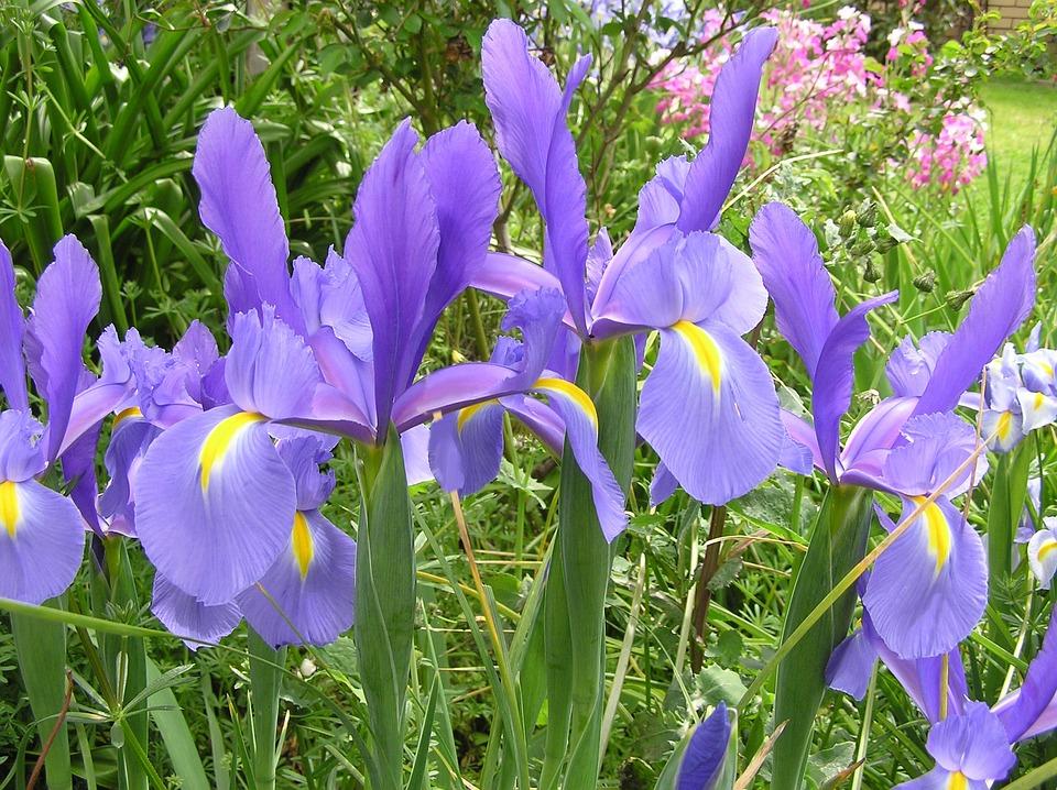 Iris, Dutch, Foliage, Bloom