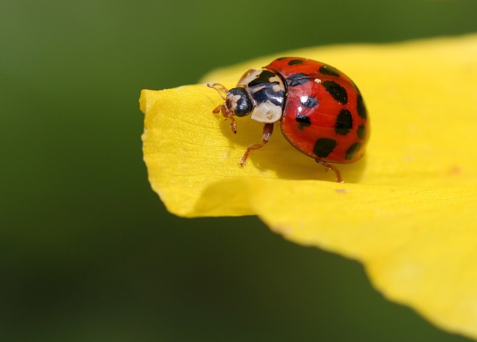 Ladybug, Beetle, Blossom, Bloom, Points, Insect, Nature