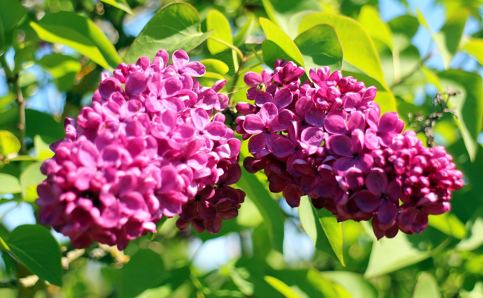 Lilac, Blossom, Bloom, Ornamental Shrub, Close, Flowers