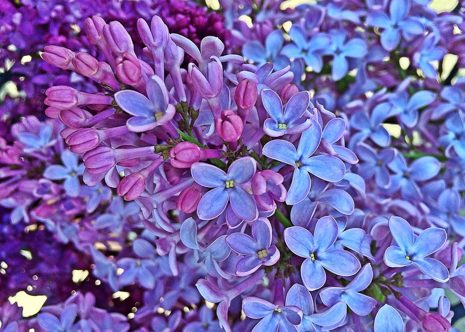 Spring, Lilac, Flowers, Bloom
