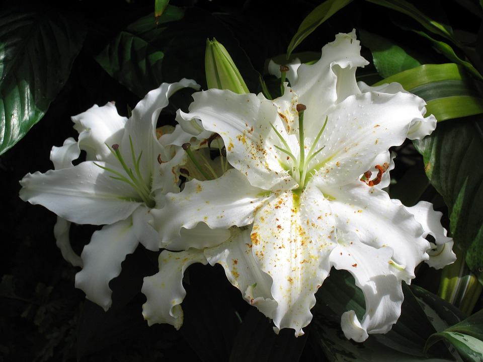Lilies, Asian Lilies, Bloom, White, Floral