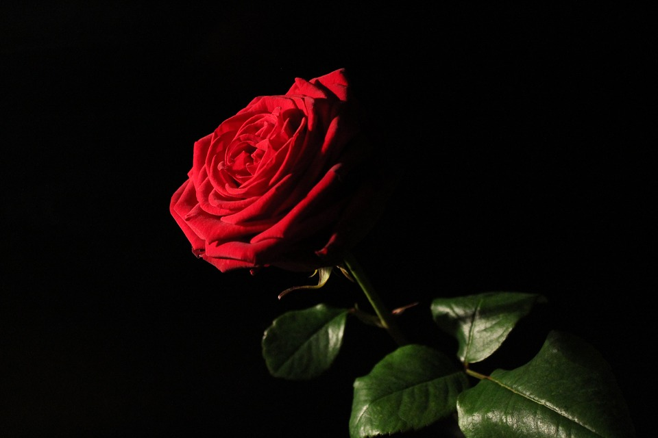 Red-naomi, Red Rose, Rose, Red, Blossom, Bloom, Love
