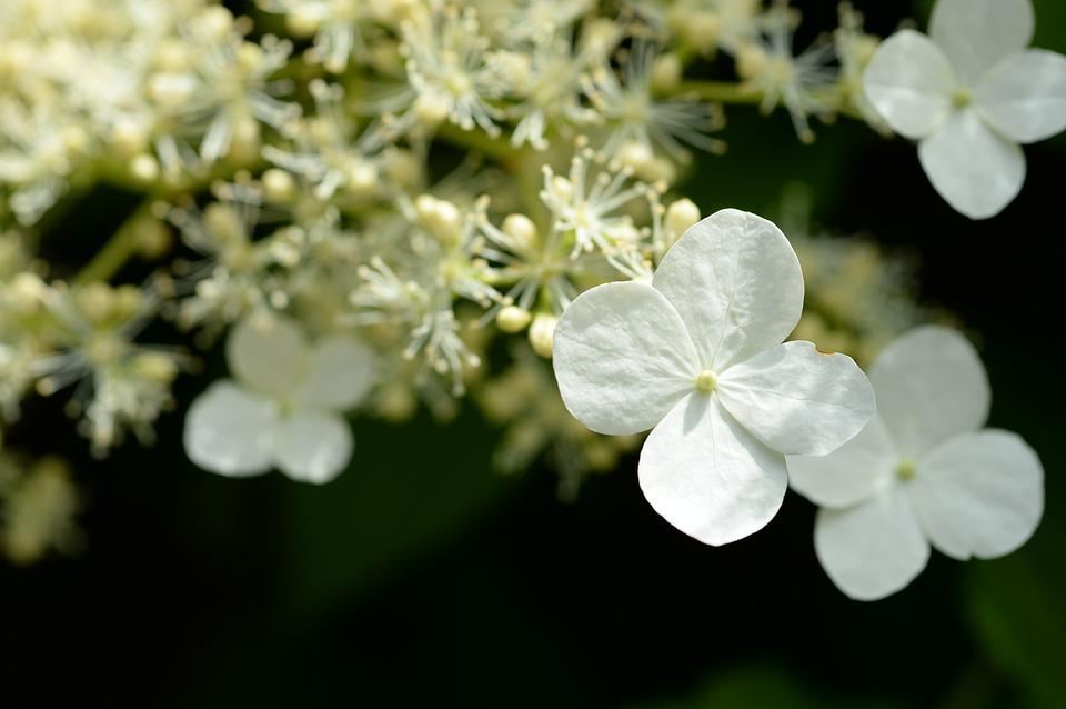 Hydrangea, White, Macro, Blossom, Bloom