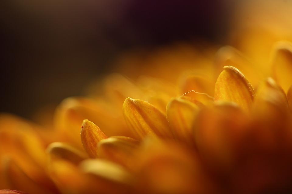 Gerbera, Yellow, Macro, Flower, Blossom, Bloom