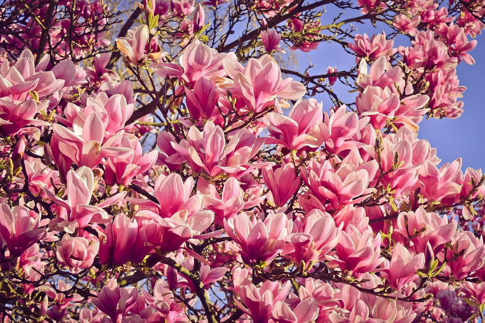 Free Photo Bloom Magnolia Tree Nature Spring Bloom Blossom Max Pixel