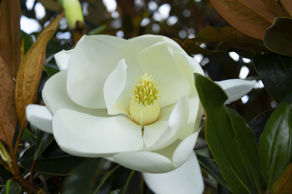 Free photo bloom magnolia white flower nature close up flora max pixel magnolia flower white bloom flora close up nature mightylinksfo Gallery
