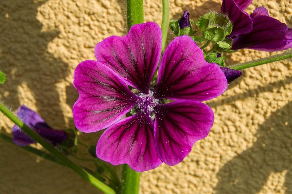 Mallow, Blossom, Bloom, Flower, Garden