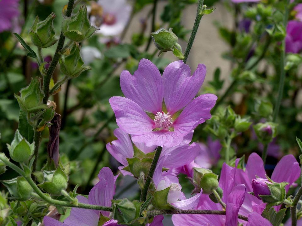 Blossom, Bloom, Mallow, Pink Mallow, Garden