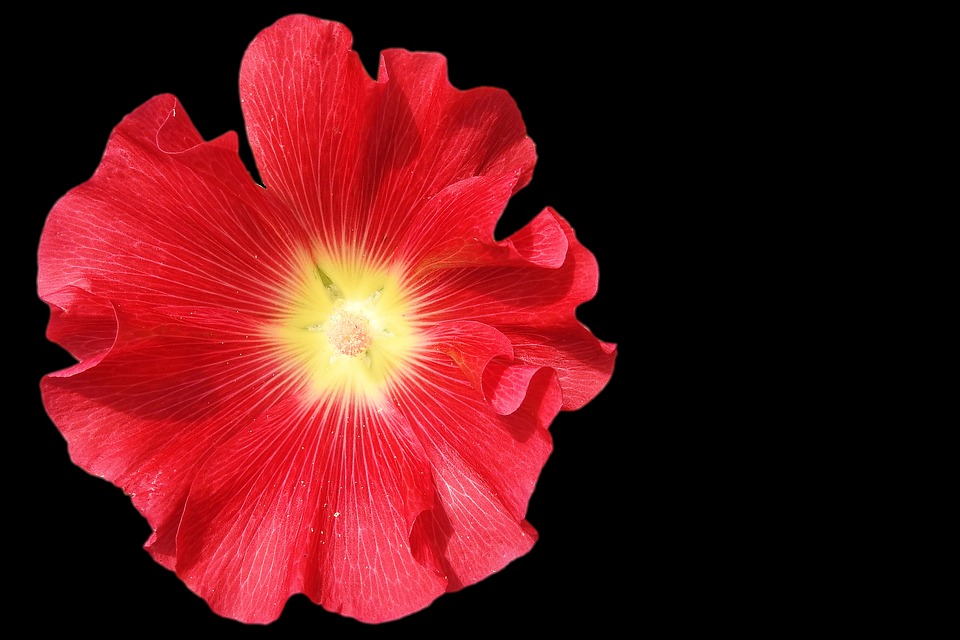 Mallow, Stock Rose, Blossom, Bloom, Red