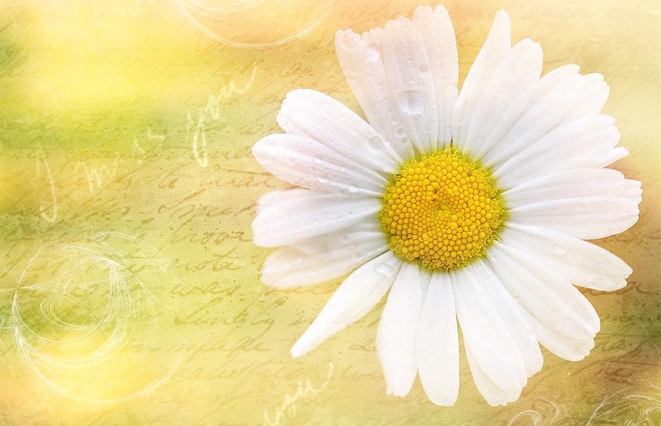 Marguerite, Flower, Blossom, Bloom, Plant, Font