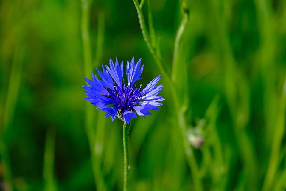 Cornflower, Meadow, Nature, Bloom, Blossom, Bloom, Blue