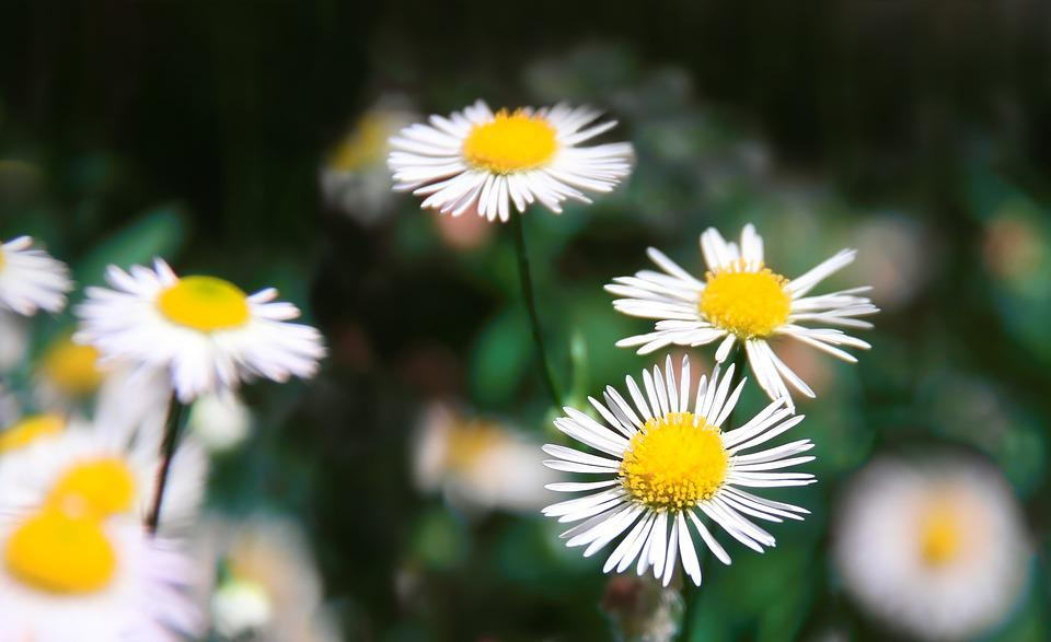 Daisy, Flowers, Meadow, Summer, Nature, Blossom, Bloom