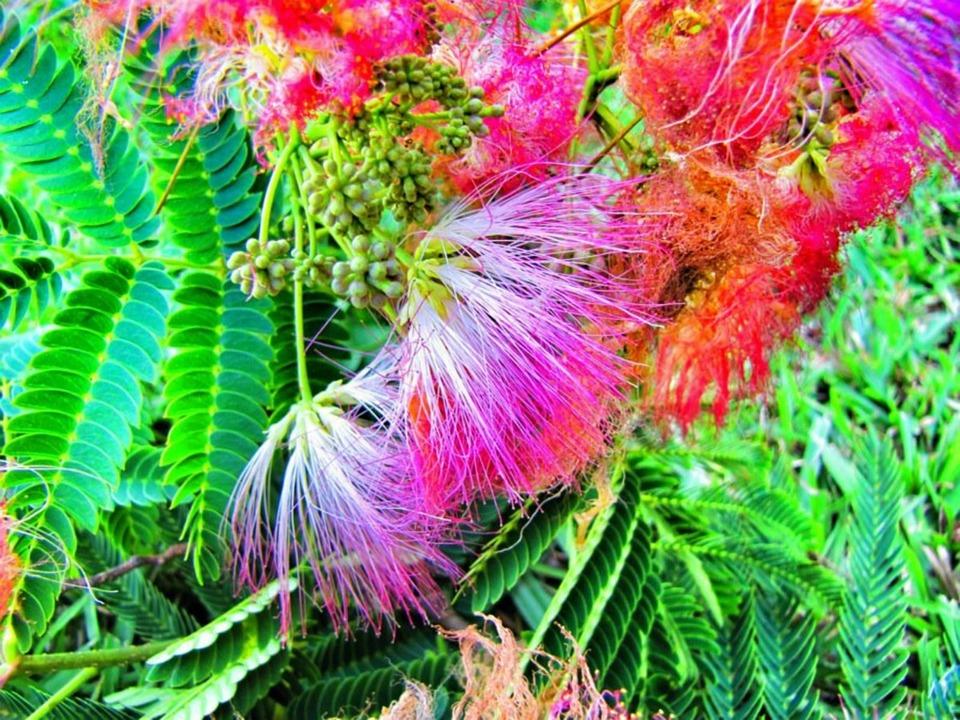 Mimosa, Tree, Bloom, Pink, Nature, Flower