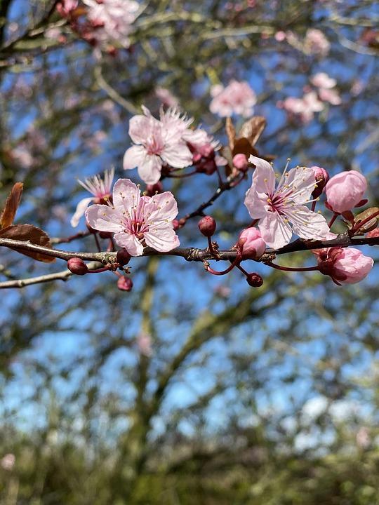 Spring, Blossom, Bloom, Botany, Mirabelle Plum Blossom