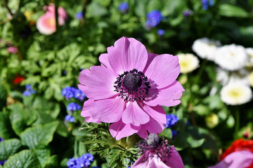 Poppy, Mohngewaechs, Blossom, Bloom, Color, Flower