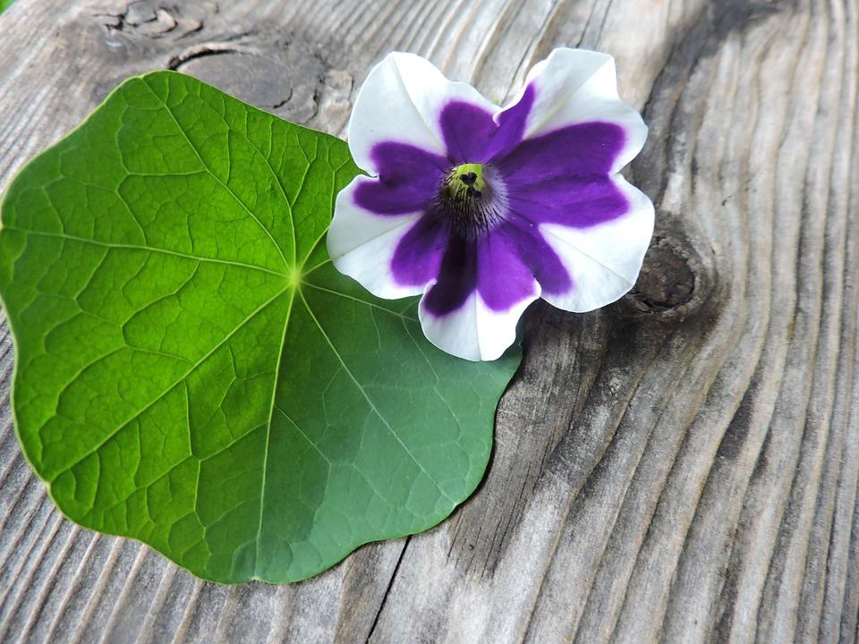 Blossom, Bloom, Leaf, Surfinie, Nasturtium, Old Wood