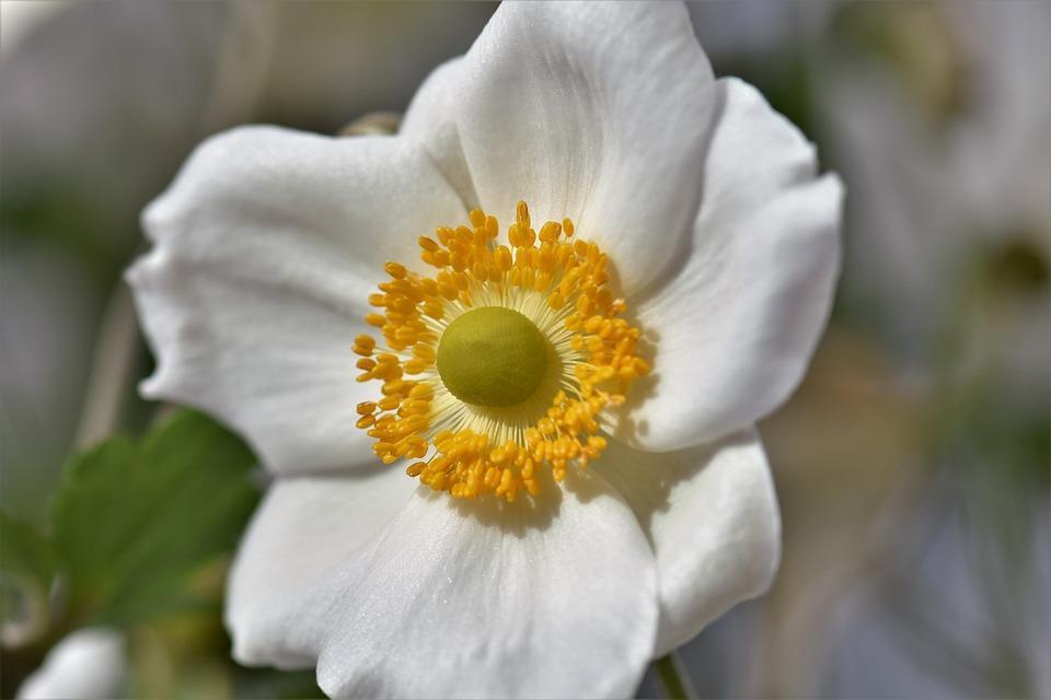 Free photo bloom nature blossom flower white anemones plant max pixel anemones white plant nature blossom bloom flower mightylinksfo