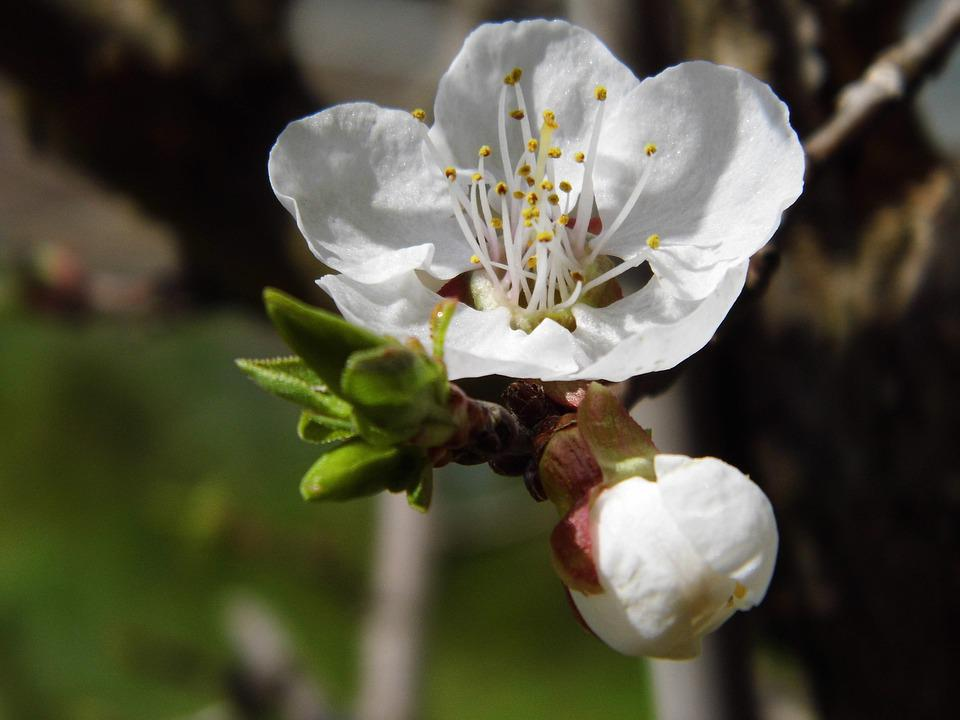 Apricot, Blossom, Bloom, Spring, Tree, Nature, White