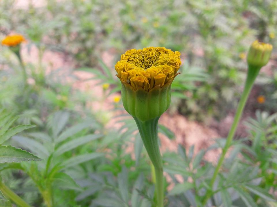 Flower, Flower Bud, Bloom, Bud, Nature, Plant, Flora