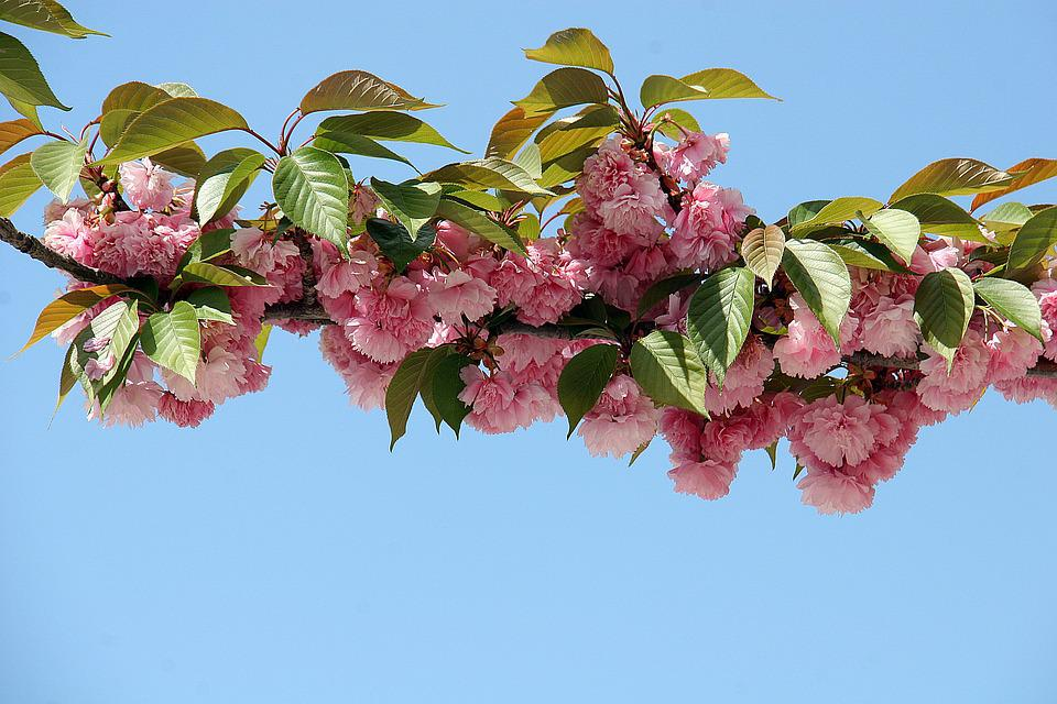 Cherry Blossom, Flowers, Spring, Bloom, Nature, Tree