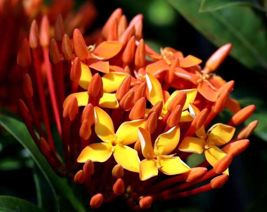 Flowers, Asoka, Petals, Flora, Bloom, Nature, Flower
