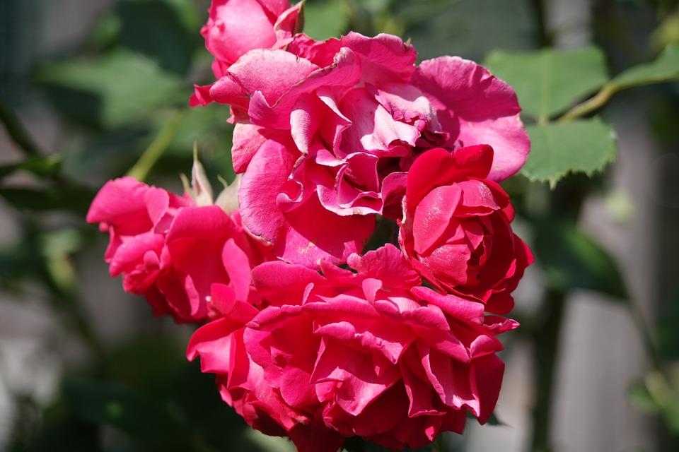 Flower, Blossom, Bloom, Rose, Red, Nature, Garden