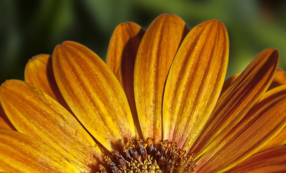 Dimophroteca, Flower, Blossom, Bloom, Spring, Nature