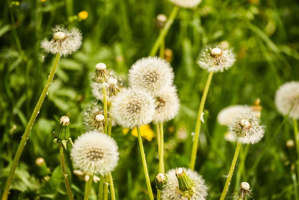 Flower, Spring, Nature, Plant, Garden, Bloom, Dandelion