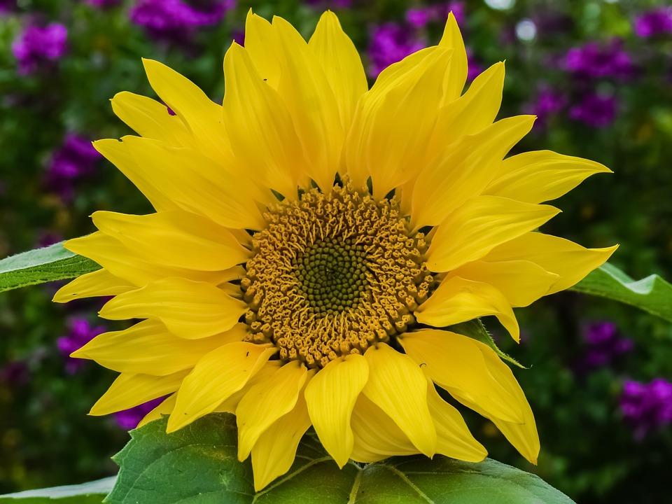 Sunflower, Nature, Flower, Flora, Spring, Garden, Bloom